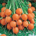 Parisian Round Carrot Seeds  62