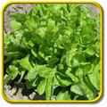 Oak Leaf Lettuce Seeds