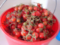 Wholesale Early Cascade Tomato Seeds