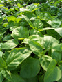 Wholesale Genovese Basil Seeds