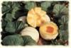Carole F1 Cantaloupe Seeds-1 Pound