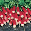 French Breakfast Radish-BIG Pack