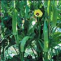 Wholesale Clemson Spineless Okra Seeds 85