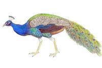 Peacock 11x14 Matted Fine Art Print