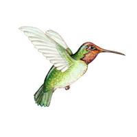 Anna's Hummingbird (Calypte anna) 8x10 Matted Fine Art Print