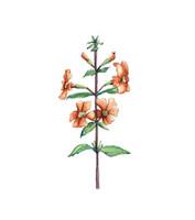 Monkey Flower (Mimulus aurantiacus) 8x10 Matted Fine Art Print