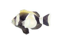 Wide Band Clownfish, Adult 11x14 Matted Fine Art Print