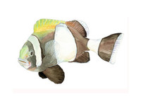 Wide-Band Clownfish (Amphiprion latezonatus), Swimming Adult 16x20 Matted Limited Edition Giclee