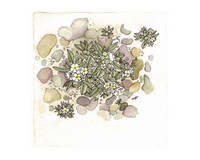 Cryptantha roosiorum Munz with Stones 8x10 Matted Fine Art Print