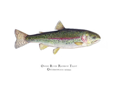 Owens River Rainbow Trout 16x20 Matted Limited Edition
