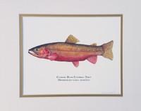 Colorado River Cutthroat Trout (Oncorhynchus clarki pleuriticus) 11x14 Matted Fine Art Print