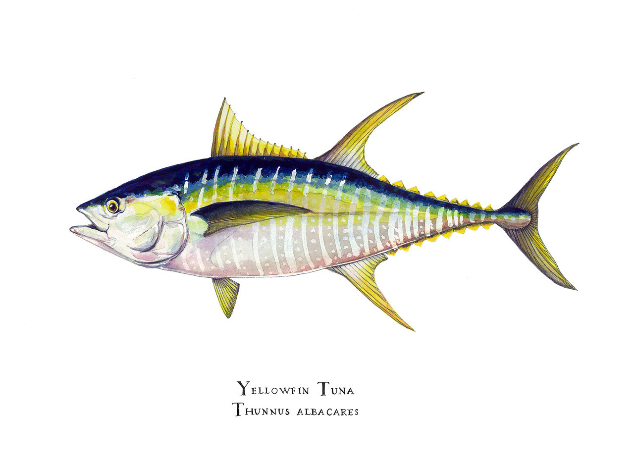 Yellowfin Tuna Thunnus Albacares 16x20 Matted Limited