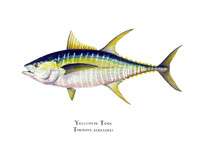 This limited edition, yellowfin tuna giclee print is printed using the finest reproduction technology available to the artist today. There are only 30 prints available in the print run.