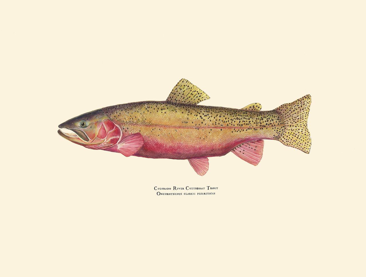 Colorado River Cutthroat Trout Oncorhynchus Clarki