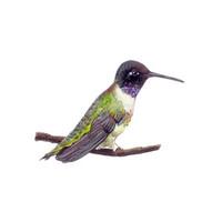 Black-Chinned Hummingbird (Archilochus alexandri) 8x10 Matted Fine Art Print