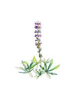 Broadleaf Lupine (Lupinus latifolius) 8x10 Matted Fine Art Print