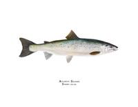 Atlantic Salmon (Salmo salar) 11x14 Matted Fine Art Print