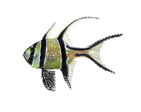Banggai Cardinalfish (Pterapogon kauderni) Full Color 11x14 Matted Fine Art Print