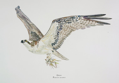 "The 18""x24"" limited edition giclee print of the osprey is printed on heavy watercolor paper with archival inks. Each is hand-signed and -numbered by Karen."