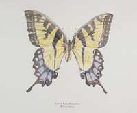 Georges River Female Eastern Swallowtail Butterfly (Papilio glaucus) 16x20 Matted Limited Edition Giclee