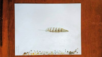 """Osprey Primary 6 Wing Feather Study (11""""x14"""")"""