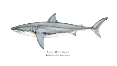 great white shark carcharodon carcharias 11x14 fine art print
