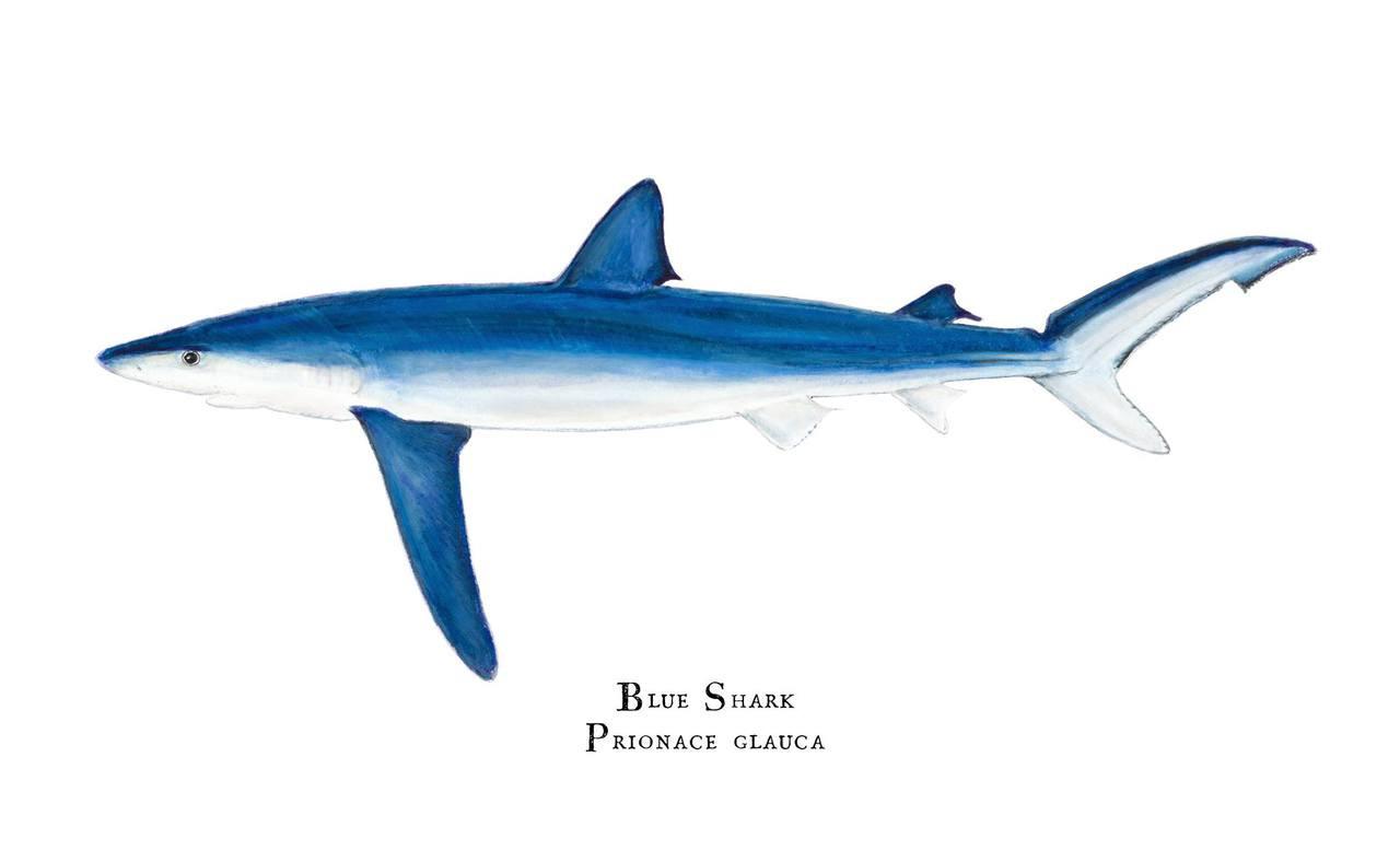 Blue Shark Prionace Glauca 11 Quot X14 Quot Fine Art Print