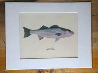 WYSIWYG Striped Bass Fine Art Print