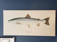 WYSIWYG Landlocked Salmon (A/P)