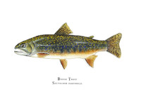 The brook trout open edition print comes matted in a double mat with gold reveal and bagged in a clear plastic bag. It can also be purchased framed. Each is hand-signed.