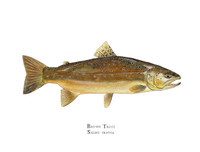 The brown trout open edition print comes matted in a double mat with gold reveal and bagged in a clear plastic bag. It can also be purchased framed. Each is hand-signed.