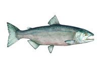 Chinook Salmon 11x14 Matted Fine Art Print