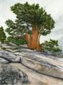 Juniper Pine on Omstead Ponit, Yosemite