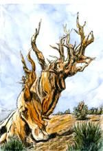 Bristlecone  Pine #1