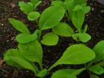 Tendergreen Mustards