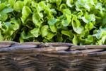 Oakleaf Lettuce Seeds QTY. 500