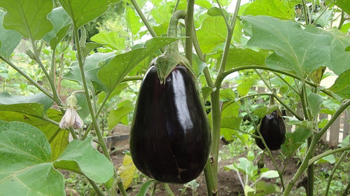 Black Beauty Eggplant Seeds QTY. 125