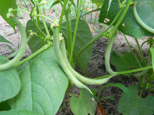 Contender Bush Bean Seeds QTY. 25
