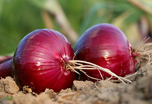 Red Burgundy Onion Seeds QTY. 200 (Short Day)