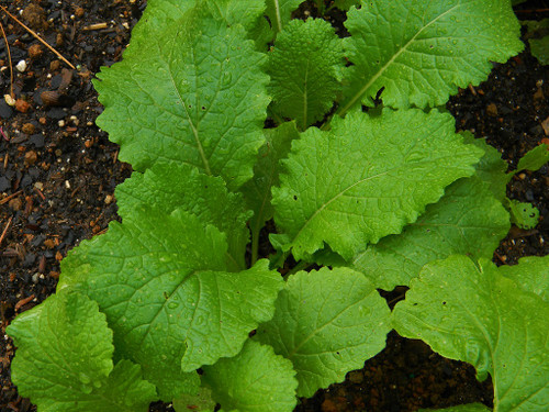 Golden Ball Turnip Greens Growing South GA Seed Co.