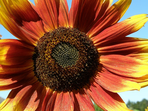 Flower Autumn Beauty Sunflower Seeds QTY. 50