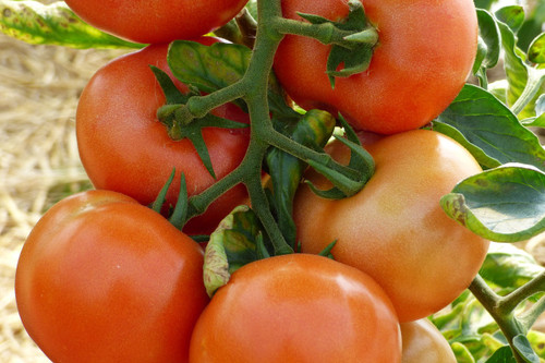 Marglobe Supreme Tomato Seeds QTY. 25 (Determinate)