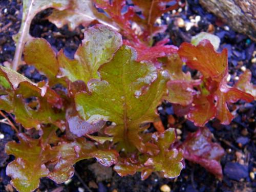 Salad Bowl Red Lettuce