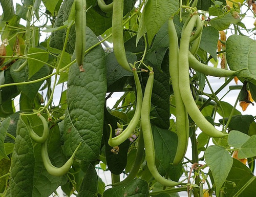 Strike Bush Bean Seeds QTY. 50