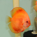 "5"" Red Melon Discus"