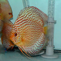 """6.5"""" Giant Fire Ruby Leopard Discus"""
