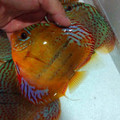 "5.5""-6"" F3 Heckel x Amana Red Spotted Green Discus (by strain creator Dexter Chung)"