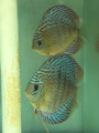Heckel x Amana Red Spotted Green F3 Proven Females From Strain Creator Dexter Chung Of DXcus Discus