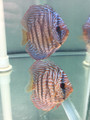 Blue Turquoise Discus Possible Pair (regular grade)