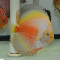 "5.5""-6.5"" Yellow White Gold Discus"